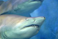 0603_shark.jpg