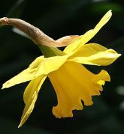 daffodil%282%29.jpg