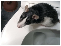 There\'s A Rat In My Toilet What Am I Going To Do? | Londonist