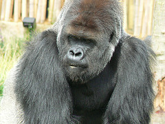2405.gorilla.jpg