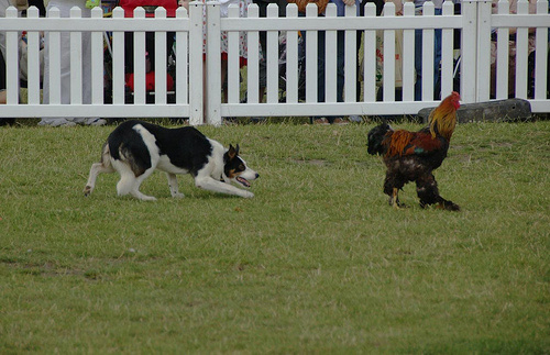 9687_herding-raindog.jpg
