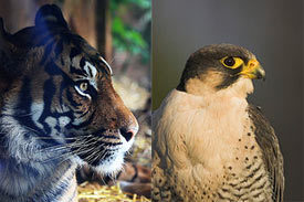 falcon_tiger.jpg