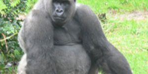Sprout Ban For Gorillas In The (Brown) Mist