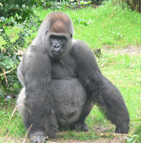 A silverback, yesterday. Brown mist not pictured.