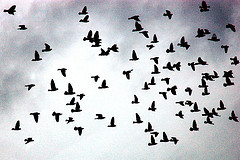 Flock_Birds_25Jan09.jpg