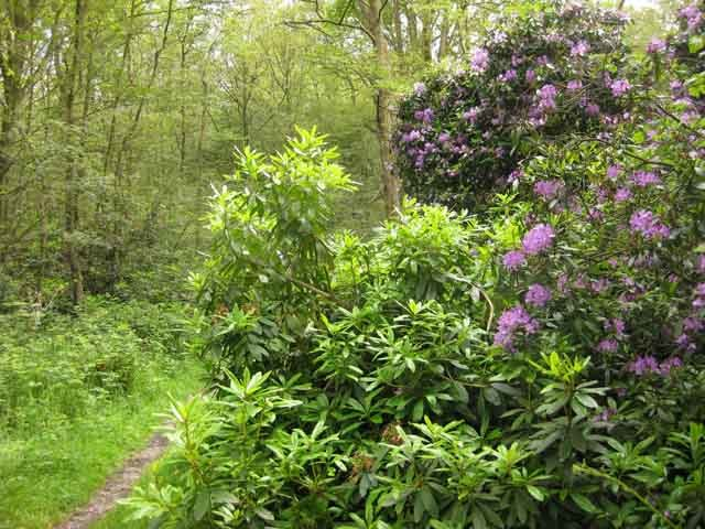 Rhododendrons are to Oxhey Woods what chicken outlets are to Holloway Road.