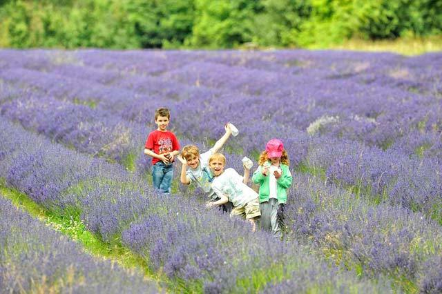 Nature-ist: Mayfield Lavender Farm