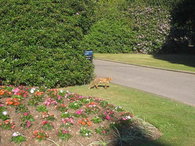 The cemetery is a haven for wildlife, with 3,500 trees and 20,000 rose bushes. And at least one fox.