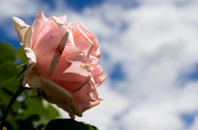 13659_westnorwood_rose.jpg