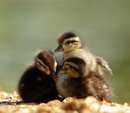 Cute Ickle Ducklings Lose Mother On Petticoat Lane