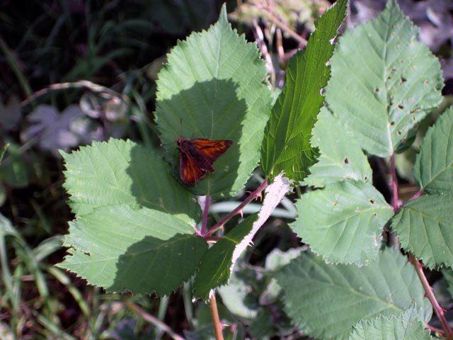 13750_brockwell_moth.jpg