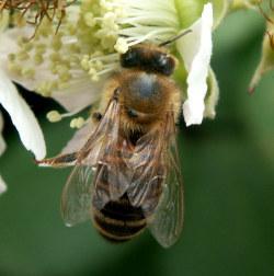 Honeybee_5Aug09.jpg
