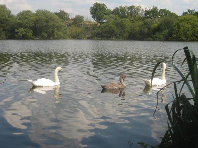 The middle stretch of the walk is along a tight isthmus, bounded by lakes on both sides and the canal. Swans are plentiful.