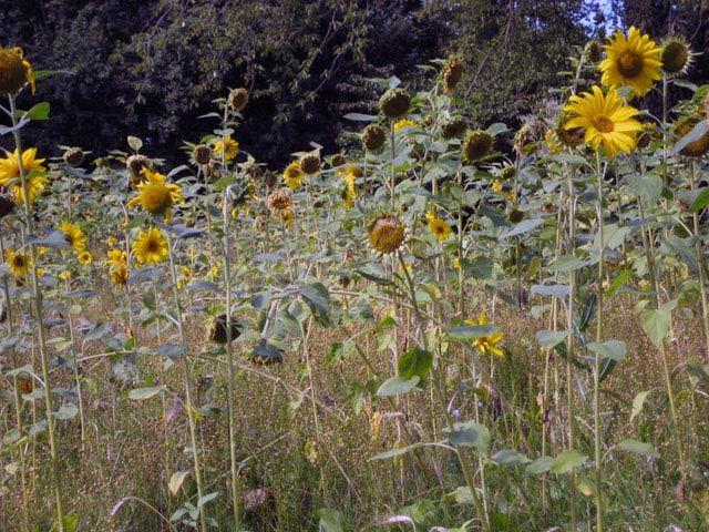 14191_sunflower4.jpg