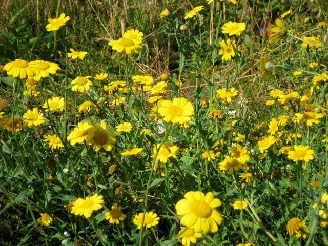 14191_sunflower7.jpg