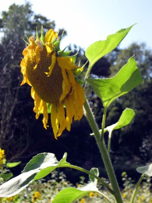 14191_sunflower9.jpg