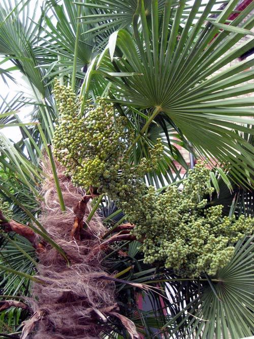 Front garden palms in Tottenham