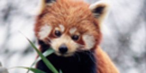 Red Panda Escapes From London Zoo