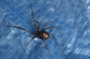 falsewidow23Sep09.jpg