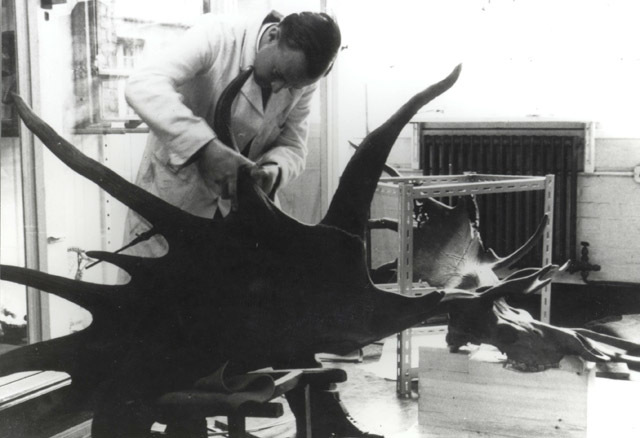 Technicians prepare Elkie for display in the 1960s, after the specimen had been bought from an Irish pub. (C) UCL, Grant Museum of Zoology.