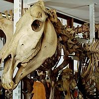 15372_quagga_skeleton.jpg