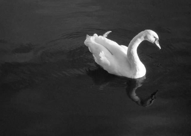 swan_lotc.jpg