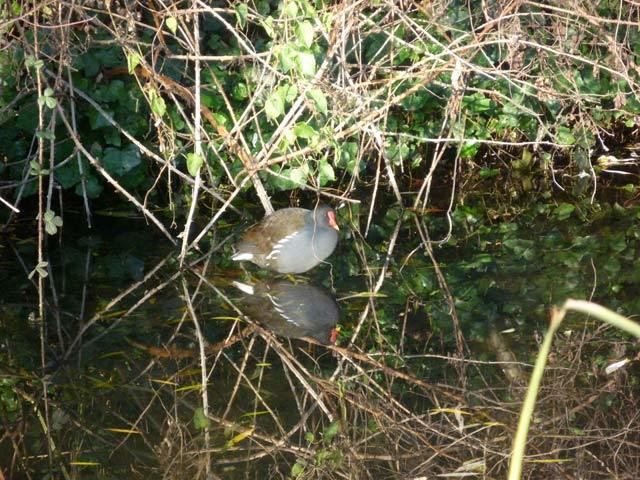 A well insulated moorhen