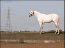 wallingerhorse.jpg