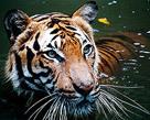 2503_tiger.jpg