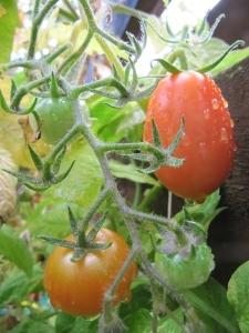 9 tomatoes.jpg