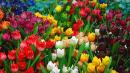 tulipslotsofem.jpg