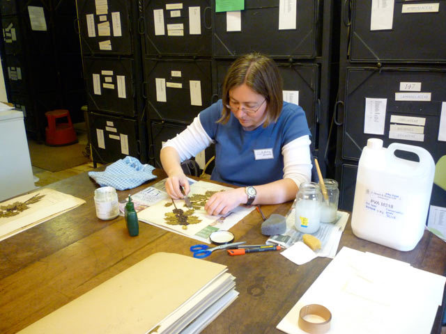 Kew conservation expert, Petra, repairs specimens from the Herbarium with PVA glue and sandbags