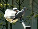 0704_pigeon.jpg