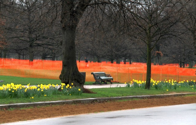 Daffodils and red fencing