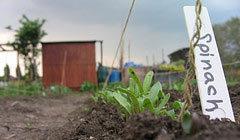 spinach_arcola.jpg