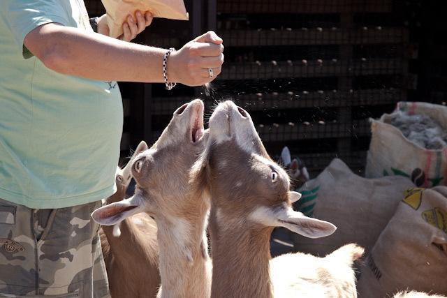 17422_surreydocks_goats.jpg