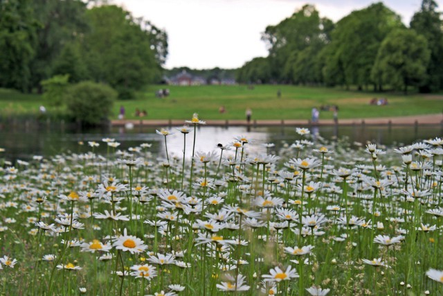 Daisies on a sunless day in Hyde Park