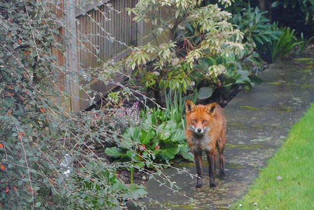 rspb_fox.jpg