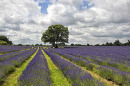 Time to Visit: Mayfield Lavender Farm