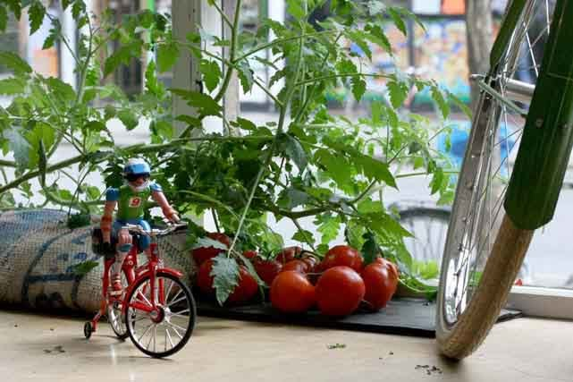 Mini cyclist amid the tomato plants
