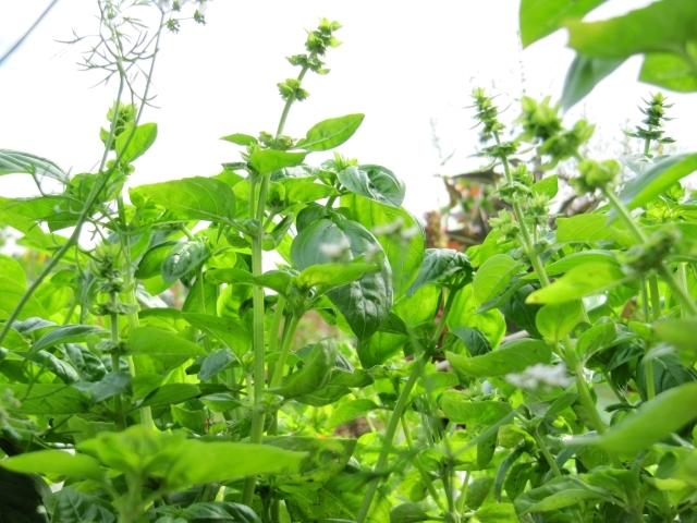 Beautiful basil, and lots of it