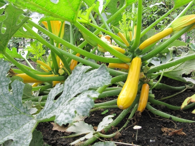 Handsome yellow courgettes