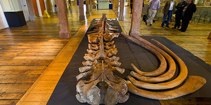 Whale Skeleton On Display At Museum Of London Docklands