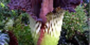 """Rotting Flesh"" Flower Blooms At Kew"