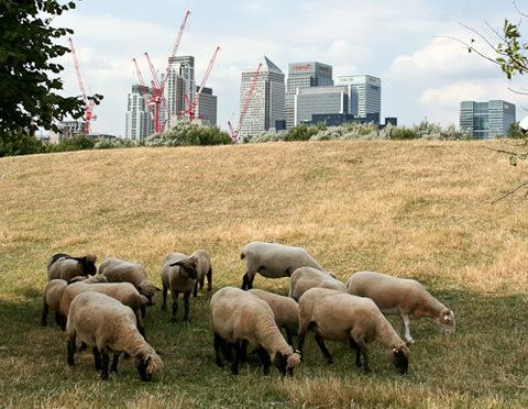 1210_sheep.jpg
