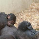 gorilla-4612-web-8616.jpg