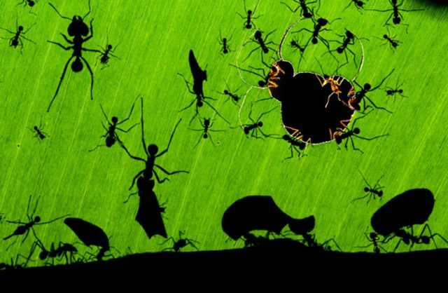 A marvel of ants. © Bence Máté / Veolia Environnement Wildlife Photographer of the Year 2010.