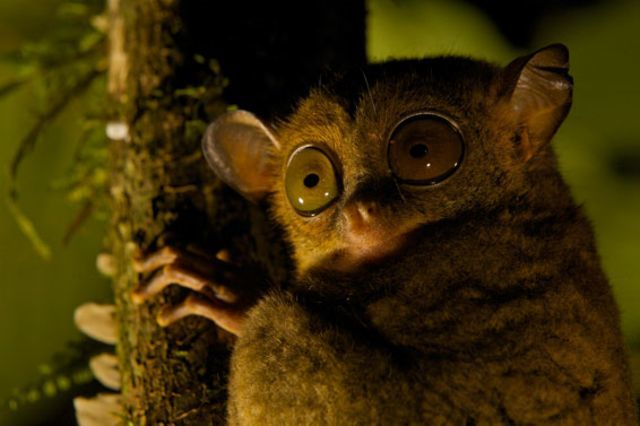Night Eyes. © Tim Laman / Veolia Environnement Wildlife Photographer of the Year 2010