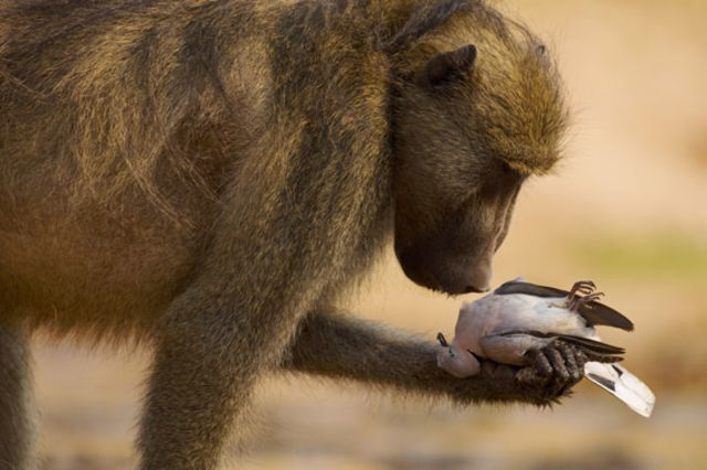 The thoughtful baboon. © Adrian Bailey / Veolia Environnement Wildlife Photographer of the Year 2010.