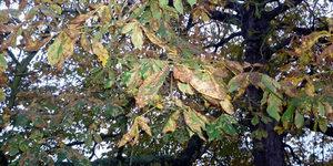 Volunteers Sweep Up To Help Osterley Park Conker Trees